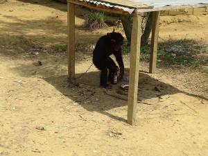 leider ein Negativbild, junger Schimpanse mit Bier zur Belustigung - ekelhaft-