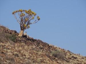 Köcherbaum -aus den Ästen wurden die Köcher für die Pfeile hergestellt