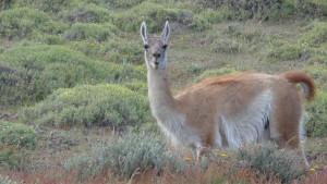 Das Guanako, auch Huanako genannt, ist eine wildlebende Art innerhalb der Familie der Kamele. Es lebt vor allem im westlichen und südlichen Südamerika und ist die Stammform des domestizierten Lamas.