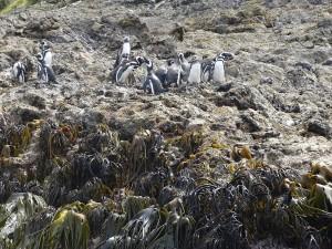 könnte ich jetzt Bildbearbeitung, ja dann hätte ich diese Pinguine in dein Bild kopiert. Es sind Humboldt oder Magellanpinguine von der Insel Chiloe. Ich kann die nicht auseinander halten