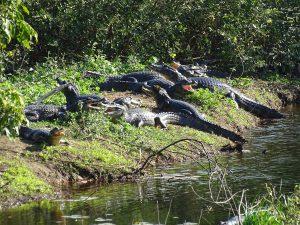 es sollen mehr als eine Millionen Kaimane im Pantanal leben
